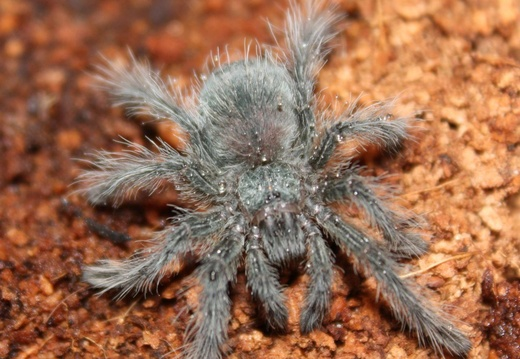 Theraphosa-Blondi-01