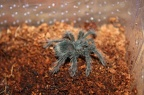Theraphosa-Blondi-03