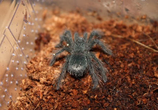Theraphosa-Blondi-02