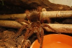 Theraphosa-Blondi-05